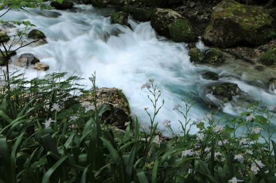岐阜円原川の清流で、ヤマフジ、シャガ、岩苔花の撮影をしてきました♪