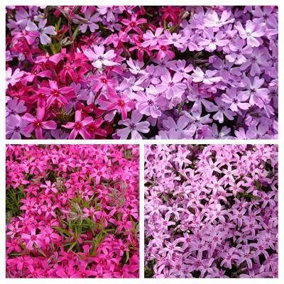 芝桜見るついでに藻琴山へ・桜(チシマザクラ)咲いているか期待する♪