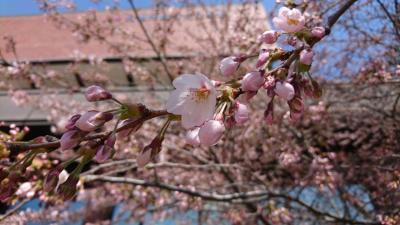 コロナに負けない花見・札幌市中心部の桜