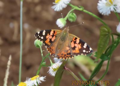 2021森のさんぽ道で見られた蝶(15)ヒメアカタテハ、アカボシゴマダラ、ツマグロヒョウモン等