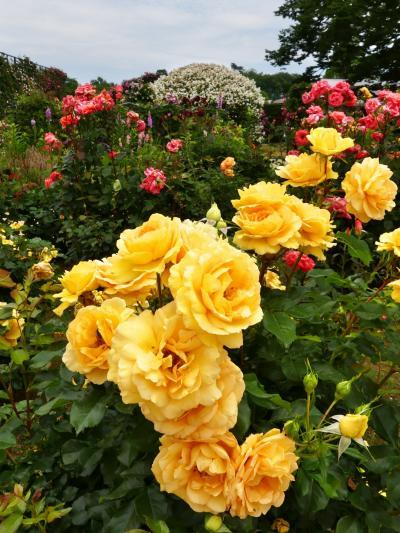「あしかがフラワーパーク」のバラ_2021_たくさん咲いていますが、見頃終盤です(栃木県・足利市)