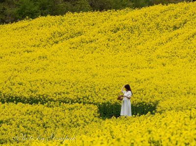 山形温泉旅行エピローグ、三ノ倉高原の菜の花畑 ~7分咲きだが、見ごたえ十分~