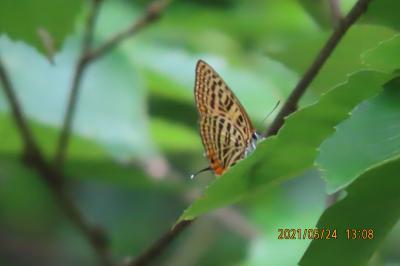 2021森のさんぽ道で見られた蝶(16)ウラナミアカシジミ、ミズイロオナガシジミ、サトキマダラヒカゲ等