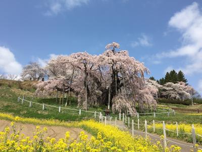 桜の開花前線をあわてて追っかけて北上!日本三大桜のひとつ三春の滝桜へ