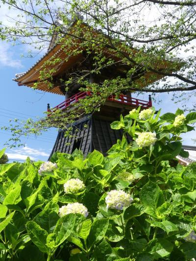 「能護寺」のアジサイ_2021_5月25日は未だ蕾、29日から境内閉鎖です(埼玉県・熊谷市)