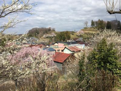 桜の開花前線をあわてて追っかけて北上!三春の滝桜の後に三春の市街をぶらぶら