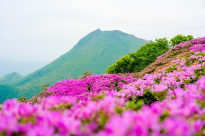 鶴見岳のミヤマキリシマ 2021