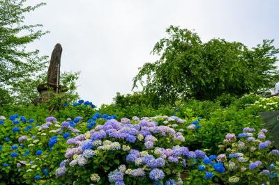 響山公園のアジサイ 2021