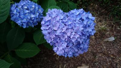 【Day out w/ N】紫陽花がきれいな季節です、ちょっとだけ歩きましょう。<普門寺>