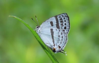 2021森のさんぽ道で見られた蝶(18)ミズイロオナガシジミ、テングチョウ、アカボシゴマダラ等