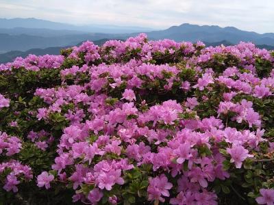 鶴見岳のミヤマキリシマを愛でる旅