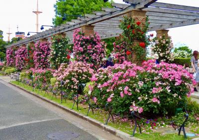 横浜のバラ巡りはトライアスロンとバッテイング