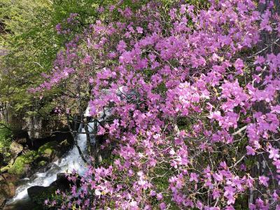 トウゴクミツバツツジの咲く高山登山