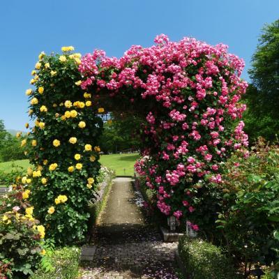 「ぐんまフラワーパーク」のバラ_2021_花は残っているが、見頃は過ぎています(群馬県・前橋市)