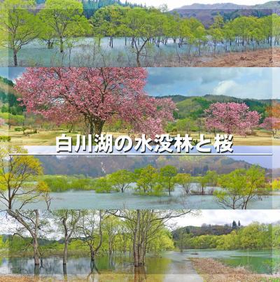 春の山形・新潟の旅2-山形の春を楽しむ(白川湖の幻想的な水没林と桜、添川水芭蕉群生地)-