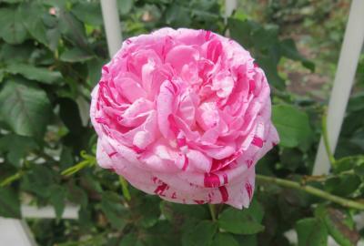2021春、鶴舞公園のバラ(2/10):5月26日(2):トロピカル・シャーベット、ブルー・ムーン、マリア・カラス