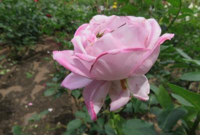 2021春、鶴舞公園のバラ(4/10):5月26日(4):ローズ・ゴジャール、インカ、エクセルサ、ローズ名古屋