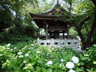 紫陽花に浮かぶ寺(登戸妙楽寺)