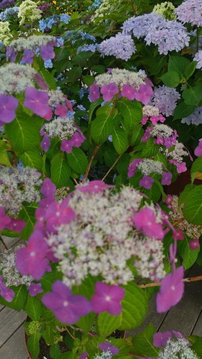 紫陽花の咲き始めた鎌倉と江ノ島