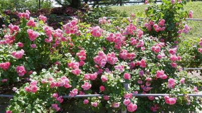 西美濃花散歩  道の駅「パレットピアおおの」・大野町バラ公園・神戸町ばら公園・曽根城公園