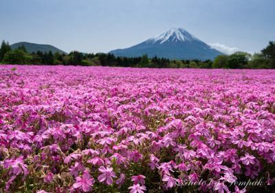 富士山麓に広がるピンクの絨毯 ~本栖湖リゾートの芝桜~