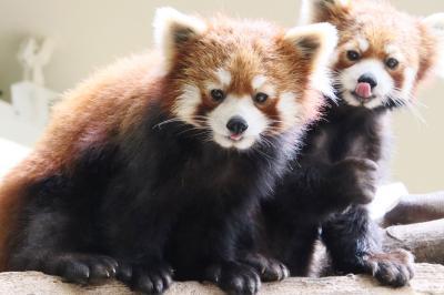 GW前に那須どうぶつ王国へもう一度(3)「アジアの森」で大阪移動前のレッサーパンダの栄作与作に会いたくて~成長した母子とマヌルネコのごはん他