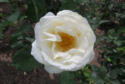 2021春、鶴舞公園のバラ(6/10):5月26日(6):楽園、乾杯、チアガール、イエロー・ブラスバンド、熱情