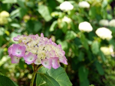 羅漢と紫陽花(柿生淨慶寺)