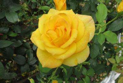 2021春、鶴舞公園のバラ(8/10):5月26日(8):正雪、ブラック・ゴールド、ゴールデン・フラッシュ、キフツゲート