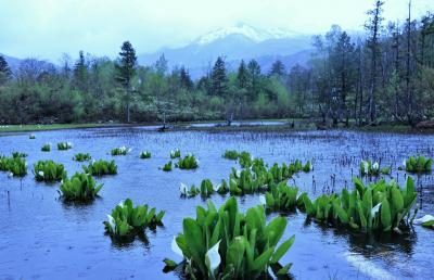 県境跨いだから罪悪感はあるのですが、乗鞍高原の雨の中の水芭蕉もいいものでした♪