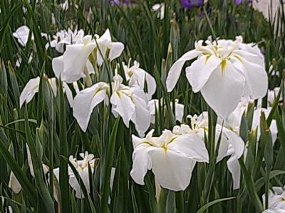 佐賀大和中央公園花のしょうぶ園と三瀬ドライブ