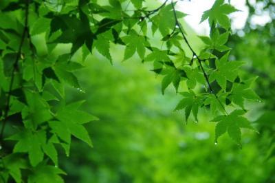 青もみじと苔の魅力にようやく気付いた2021年☆ 新緑を求めてプチ旅三昧: 滋賀編