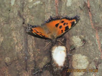 2021森のさんぽ道で見られた蝶(21)ヒオドシチョウ、キマダラセセリ、アカシジミ、ツバメシジミ等