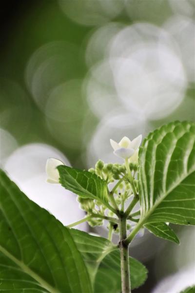 初夏の智光山公園の花散策~あじさい目当てで終焉のバラ園や花菖蒲田や池のほとりのドクダミも見応えあり