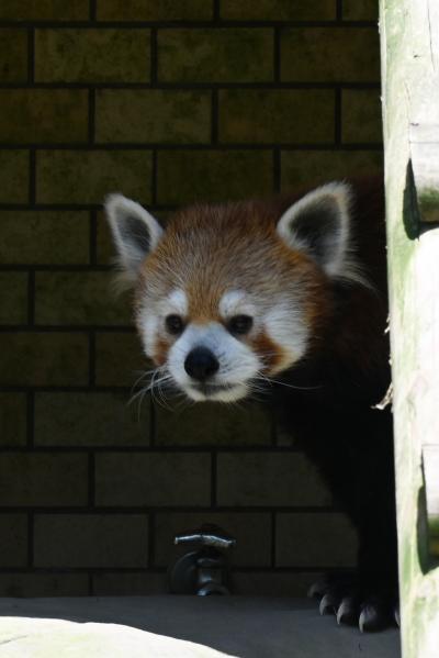 レッサーパンダはかわゆい !!! 鹿児島市平川動物園