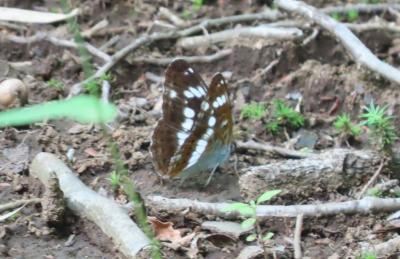2021森のさんぽ道で見られた蝶(22)イチモンジチョウ、ベニシジミ、ツバメシジ、ルリタテハ等