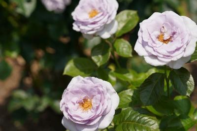 20210608-1 京都 梅雨時の京都府立植物園、其の一は薔薇園