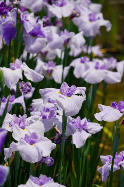 20210608-3 京都 梅雨時の京都府立植物園、其の三は花菖蒲
