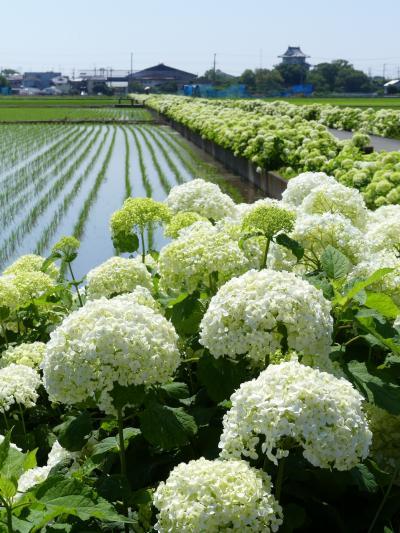 「騎西あじさいロード」と「騎西城跡」のアジサイ_2021_見頃が始まっています(埼玉県・加須市)
