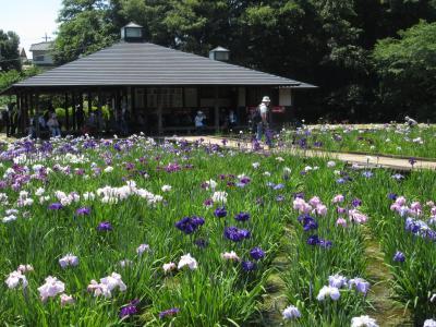 北山公園の菖蒲めぐり Iris in Kitayama Park/Higashimurayama