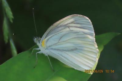 2021森のさんぽ道で見られた蝶(23)スジグロシロチョウ、ウラナミアカシジミ、アカシジミ等