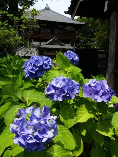 「曹禅寺(さざえ堂)」のアジサイ_2021_開花が進んでいます(群馬県・太田市)