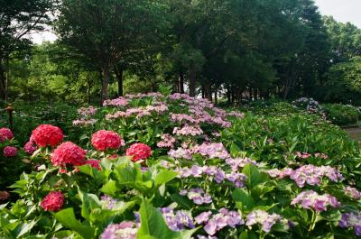 《2021. June》あみんちゅぶらり淡海を歩く旅そのXXV守山前編~あじさいの咲く公園~