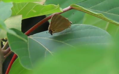 2021森のさんぽ道で見られた蝶(24)トラフシジミ、アカシジミ、キタテハ、テングチョウ等