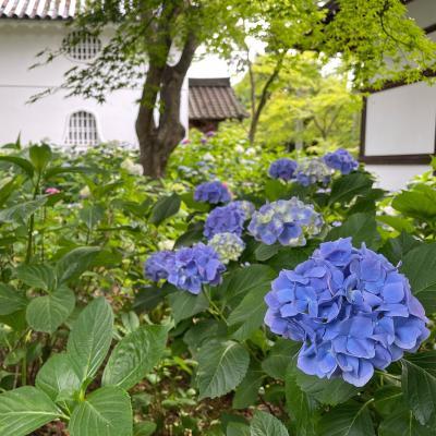 初夏の京都でアジサイ巡り!【1】梅宮大社と真如堂+哲学の道でモフモフ