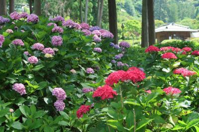 三室戸寺の紫陽花と石清水八幡宮と(2021年)