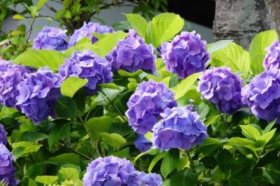 紫陽花を見に鎌倉へ行ってきた 2021