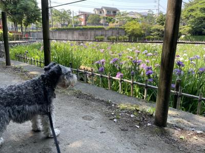 夜宮公園の菖蒲を見に行きました、