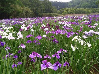 枝川内あじさいランドの紫陽花・神楽女湖の花菖蒲・深耶馬渓の蛍を愛でる旅
