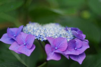 関西花の寺十二番 久安寺の紫陽花 2021.6.13